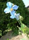 20070522flower04