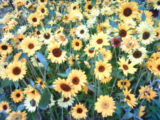 20090519sunflower01