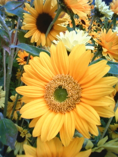 20090519sunflower02
